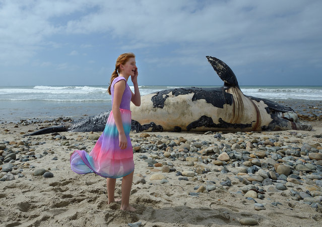 A girl calls to her mom as she stands near a dead whale on the shore Monday morning, April 25, 2016, on the cobblestone beach at Lower Trestles on San Onofre State Beach, just south of San Clemente, Calif. (Photo by Jeff Gritchen/The Orange County Register via AP Photo)