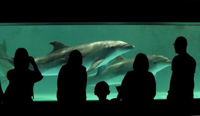 A couple of dolphins are watched by visitors at Shinagawa Aquarium in Tokyo Japan, 22 May 2015. (Photo by Kimimasa Mayama/EPA)