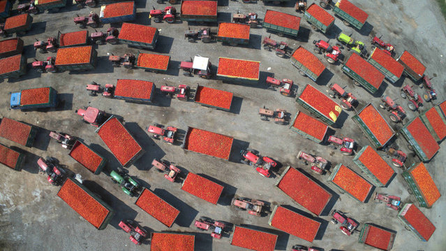 Tractors pulling trailers full of tomatoes line queue outside a process factory in Sandaoqiao, Inner Mongolia, China on September 4, 2019. (Photo by Liu Shiping/Xinhua News Agency/Barcroft Media)