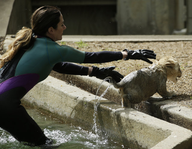 Smithsonian National Zoo animal keeper Kristen Clark chases a male lion cub during its swim test in the zoo habitat moat, in Washington May 6, 2014. Four, unnamed ten-week old lion cubs were tested today for their ability to swim and remove themselves from their zoo habitat moat. (Photo by Gary Cameron/Reuters)
