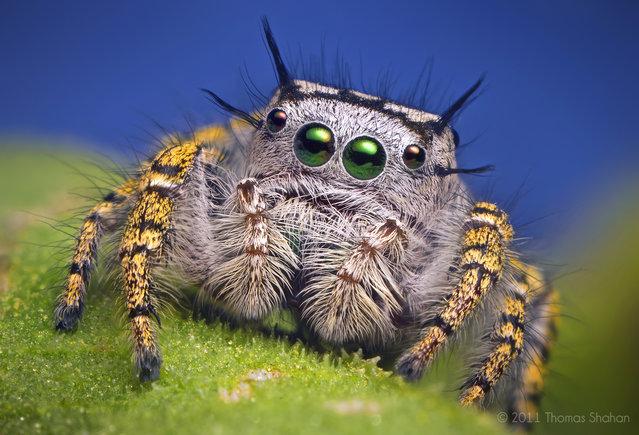 Adult Female Jumping Spider – Phidippus mystaceus