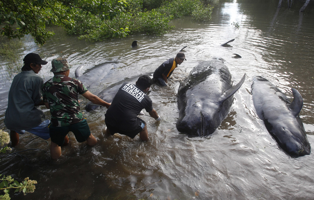 Dozens of Whales Stranded in Indonesia's Java Island