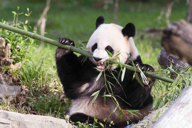 Giant Panda Mei Xiang snacks on bamboo at the Snithsonian's National Zoo in Washington, in this handout image taken on April 19, 2015 and obtained on August 10, 2015. The National Zoo's giant panda Mei Xiang is showing signs of being pregnant, the Washington zoo said on Monday, in a good development for the endangered species. (Photo by Connor Mallon/Reuters/Smithsonian's National Zoo)