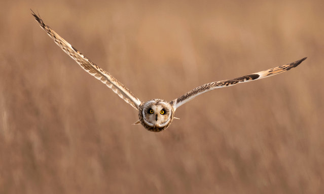 A wild short-eared owl (Asio flammeus) flies straight towards the camera in Gloucestershire, county in South West England. (Photo by Jerome Murray/Alamy Live News)