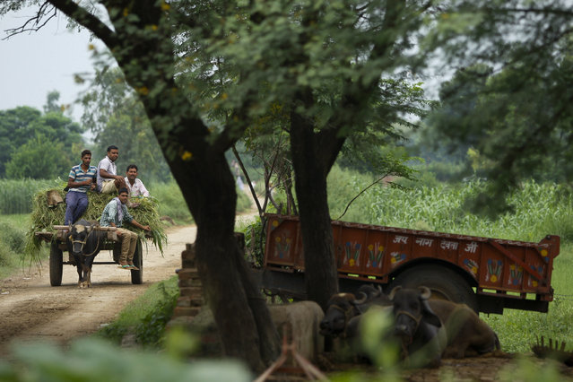 In this Friday August 21, 2015, photo, Indian villagers ride on a buffalo cart  near the India Pakistan international border at Ranbir Singh Pura 36 kilometers (23 miles) from Jammu, India. (Photo by Channi Anand/AP Photo)