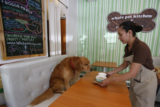 A server places a lasagna dish in front of a labrador retriever named Jack, at Whole Pet Kitchen, a human and pet restaurant in San Juan, Metro Manila September 6, 2014. The restaurant serves snacks and mains made with human-grade ingredients, which are both edible for humans and their pets, restaurant owner Giannina Gonzales said. (Photo by Erik De Castro/Reuters)