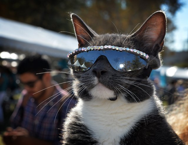 The sunglass cat poses during the Los Angeles Feline Film Festival at the Memorial Coliseum in Los Angeles on September 21, 2014. The annual event featuring celebrity cats and feline films raises money for local cat sanctuaries and rescue organizations. (Photo by Mark Ralston/AFP Photo)