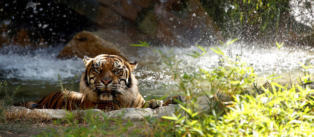 A Sumatran tiger bathes in its enclosure during a summer day at the Los Angeles Zoo in Los Angeles, California U.S., August 13, 2016. (Photo by Mario Anzuoni/Reuters)