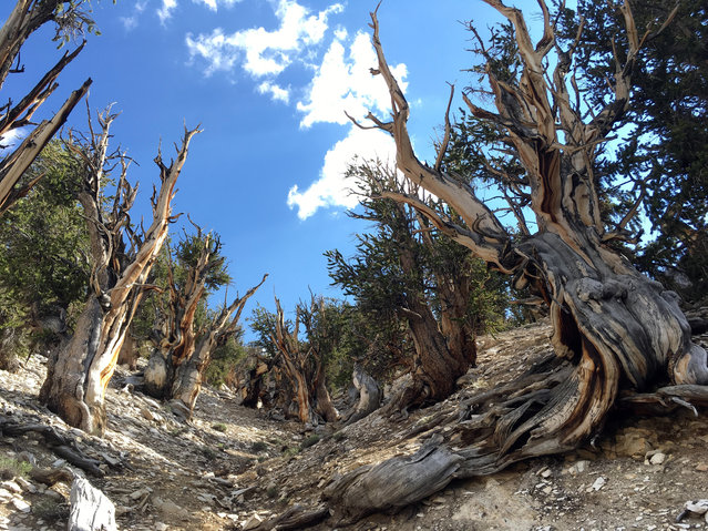 This July 11, 2017, photo shows gnarled, bristlecone pine trees in the White Mountains in east of Bishop, Calif. Limber pine is beginning to colonize areas of the Great Basin once dominated by bristlecones. The bristlecone pine, a wind-beaten tree famous for its gnarly limbs and having the longest lifespan on Earth, is losing a race to the top of mountains throughout the Western United States, putting future generations in peril, researchers said Wednesday, Sept. 13. (Photo by Scott Smith/AP Photo)