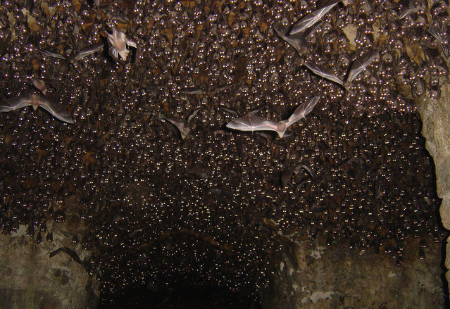 """Bats at Golconda Fort: This is the third shot with a flash, waking all of the bats up and seeing them all stare at the camera"". (Photo and comment by Bill Thoet/National Geographic Photo Contest via The Atlantic)"