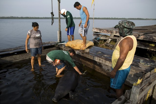 Veterinarian William Guerra Neto (2nd L) and his assistants take measurements of one of two Amazonian manatees who are being rehabilitated after sustaining injuries from hunting and fishing nets at the Center of Amazonian Manatees at Amana Lake in Maraa, Amazonas state, Brazil, September 21, 2015. (Photo by Bruno Kelly/Reuters)