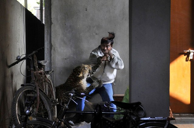 In this January 7, 2012 file photo, a wild full grown leopard scalps the head of a man as it attacks after wandering into a residential neighborhood in Gauhati, in the northern state of Assam, India. Later the leopard was tranquilized by wildlife official and taken to the state zoological park. The leopard ventured into a crowded area and injured four people before it was captured and caged. (Photo by Manas Paran/AP Photo)