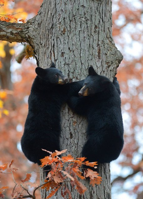 Two black bear cubs look down from a tree in a residential area of Kingston Township, Pa. on Thursday, October 30, 2014. A mother bear and four cubs were found playing in the tree off of East Center Street. Despite a police officer's efforts to keep them in the tree by moving the car closer to the tree and honking the horn, all five bears climbed down and took off into the woods. (Photo by Andrew Krech/AP Photo/Citizens' Voice)
