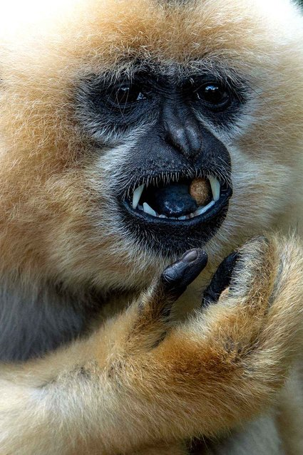 A red cheeked gibbon eats on November 13, 2014 at the zoo in the eastern French city of Mulhouse. (Photo by Sebastien Bozon/AFP Photo)