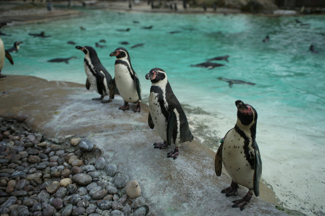 Penguins look on during the Annual Stocktake at ZSL London Zoo in London, Britain February 7, 2018. (Photo by Tom Jacobs/Reuters)