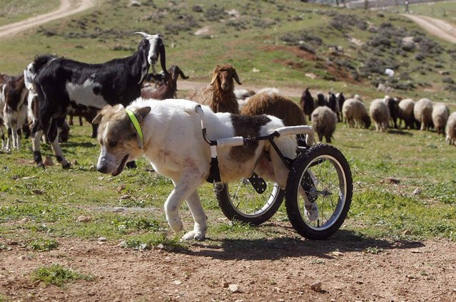 Abayed, a 6-year-old herding dog, walks with a specially-made wheeled walking aid outside the Humane Center for Animal Welfare near Amman, Jordan on February 26, 2013. The dog was hospitalized and treated after a bullet pierced his spine and paralyzed him two years ago. (Photo by Ali Jarekji/Reuters)