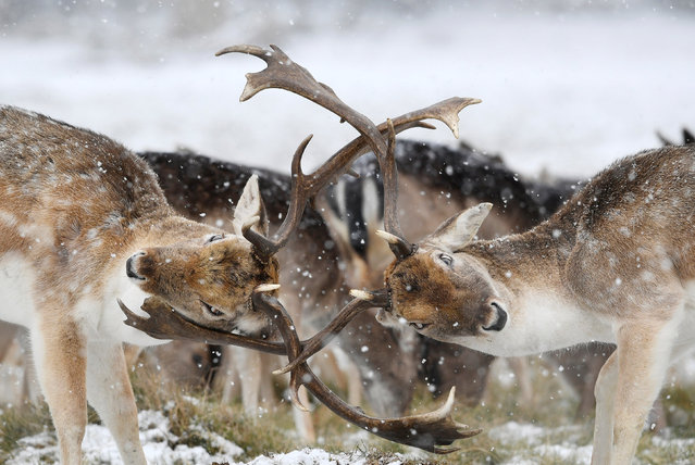Deer clash antlers as snow falls in Richmond Park in London, Britain, February 28, 2018. (Photo by Toby Melville/Reuters)