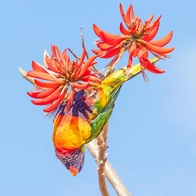 A rainbow lorikeet (Trichoglossus haematodus) – a colourful, medium-sized Australian parrot – feeds on the flowers of a coral tree. (Photo by David Steele/Alamy Stock Photo)