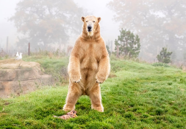 Hamish the polar bear tries out his new enclosure at the Yorkshire Wildlife Park at Branton, Doncaster on November 6, 2020, after moving from the Highland Wildlife Park in Scotland. Hamish was the first polar bear to be born in the UK. (Photo by Danny Lawson/PA Wire Press Association)