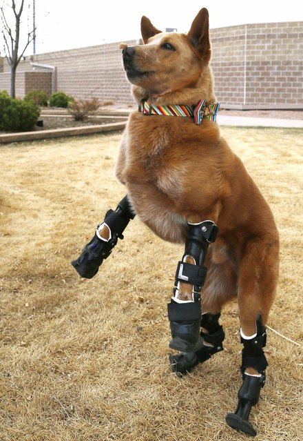 Naki'o, a mixed-breed dog with four prosthetic devices, goes for a run in Colorado Springs April 12, 2013. Naki'o lost all four feet to frostbite when he was abandoned as a puppy in a foreclosed home. (Photo by Rick Wilking/Reuters)