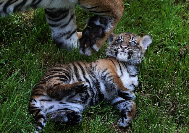 A two-month-old Sumatran tiger cub sits in the grass with its mother at the San Francisco Zoo. (Photo by Justin Sullivan/Getty Images)