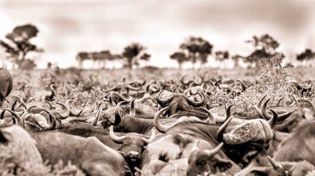 """Like a battalion of beasts, this African Cape buffalo herd settles down for the night. They settle in this manner to protect them from marauding predators, which are hoping to infiltrate their ranks. The sheer number of horns and the size of the herd is what I was trying to capture, evoking a sense of strength and unity,"" observes Chris. (Photo by Chris Renshaw)"