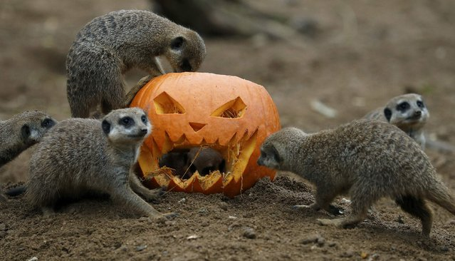 Meerkats search for food inside a carved Halloween pumpkin in their enclosure as part of the Enchantment event at Chester Zoo in Chester, Britain October 24, 2016. (Photo by Phil Noble/Reuters)