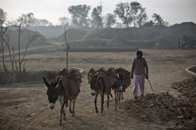 Donkeys transport bricks from site to another at a brick factory in Mandra near Rawalpindi, Pakistan, Wednesday, December 31, 2014. (Photo by Muhammed Muheisen/AP Photo)
