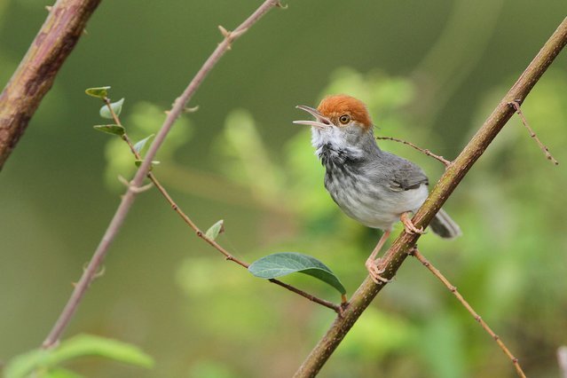 This picture provided by Birdtour Asia shows the Cambodian tailorbird, a small bird, which has a black-feathered throat and is the size of the more common wren, which lives in thick, lowland scrub in Phnom Penh, on June 26, 2013. (Photo by AFP Photo/Getty Images)