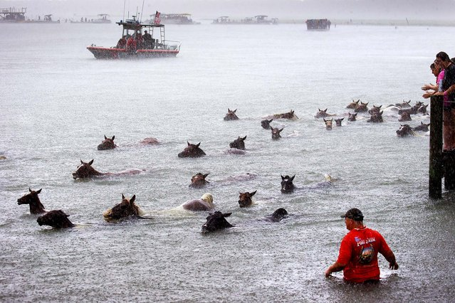 Wild ponies swim to the shore in the annual Chincoteague Pony Swim. (Photo by Doug Mills/The New York Times)