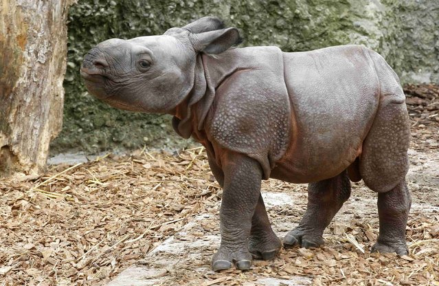 Nine-day old male Indian rhinoceros Jari walks in an outdoor enclosure at the zoo in Basel September 18, 2012.  Jari was born   to mother Quetta last Monday, weighing around 60 kilos (132.3 pounds).     REUTERS/Arnd Wiegmann