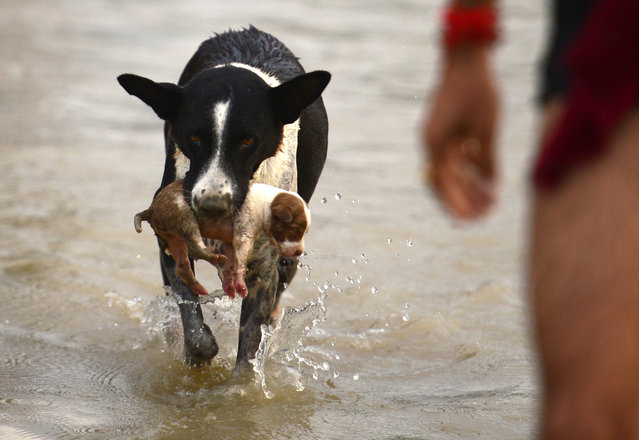 A b*tch transfers a puppy to a drier place at Sangam area in Allahabad on September 3, 2018, as water levels of the Ganges and Yamuna rivers increase following monsoon rains. (Photo by Sanjay Kanojia/AFP Photo)