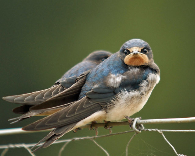 Rare close up of grounded Swallows. (Photo by Adam Tatlow/BNPS)