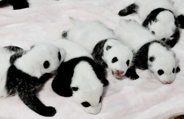 In this Monday, September 23, 2013 photo, panda cubs rest in a crib at the Giant Panda Breeding and Research Base in Chengdu, in southwest China's Sichuan province. Fourteen panda cubs were shown to the public at the base on Monday. (Photo by AP Photo)
