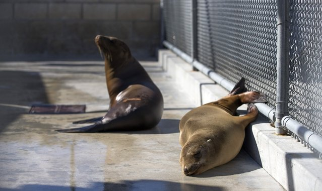Sea lion pups rest in their enclosure after being rescued at the Pacific Marine Mammal Center in Laguna Beach, California March 17, 2015. (Photo by Mario Anzuoni/Reuters)