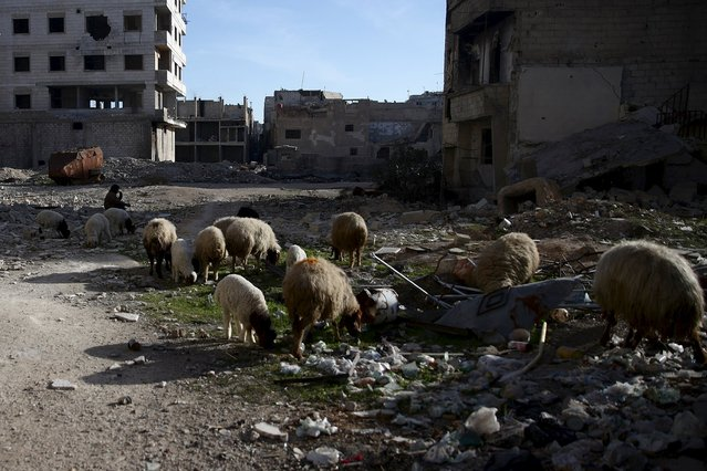 A shepherd rests next to his sheep near damaged buildings in the eastern Damascus suburb of Ghouta, Syria February 4, 2016. (Photo by Bassam Khabieh/Reuters)