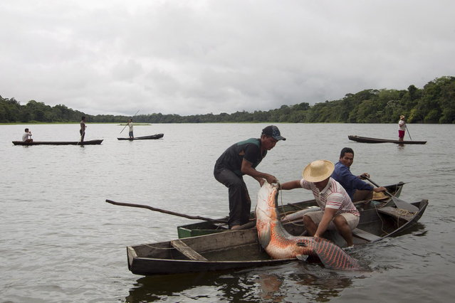 Villagers from the Porto Novo community load into their canoes arapaima or pirarucu, the largest freshwater fish species in South America and one of the largest in the world, while fishing in Poco Fundo lake along a branch of the Solimoes river, one of the main tributaries of the Amazon, in the Mamiraua nature reserve near Fonte Boa about 600 km (373 miles) west of Manaus, November 26, 2013. (Photo by Bruno Kelly/Reuters)