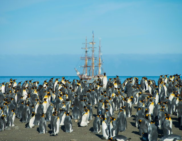 A colony of penguins gather with the Bark Europa in the background, on March 05, 2015 in South Georgia Island. (Photo by Andrew Orr/Barcroft Images)