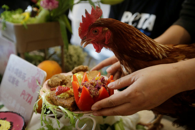 A rescued chicken named Cherry eats vegetables and cakes during a lunch event held by animal rights activist group People for the Ethical Treatment of Animals (PETA) to promote vegan meals in the upcoming Year of the Rooster, in Beijing, China, January 19, 2017. (Photo by Jason Lee/Reuters)