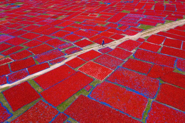 Sailor of Red Chilies Sea. People Commended. A farmer cycles home after laying out red chilies on plastic sheets under the bright sun. During the harvesting season, tons of chilis are laid out to dry creating a patchwork effect on green fields in Panchagarh, northern Bangladesh. (Photo by Sujon Adhikary/Drone Photography Awards 2021)