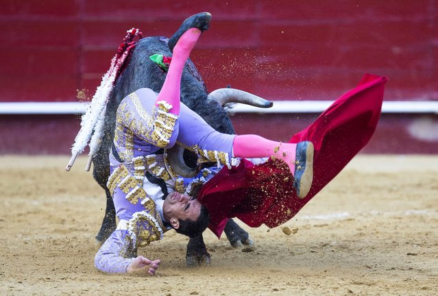 Spanish bullfighter Paco Urena is gored by his bull during a bullfight held on the occasion of the Fallas Festival in Valencia, Spain, 13 March 2016. (Photo by Manuel Bruque/EPA)