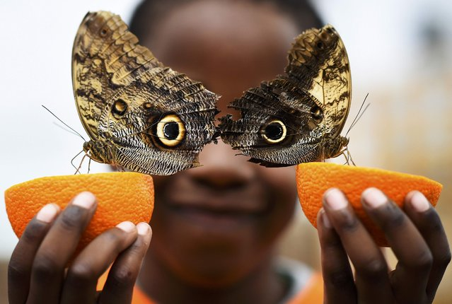 Bjorn, aged 5, smiles as he poses with a Owl butterfly during an event to launch the Sensational Butterflies exhibition at the Natural History Museum in London, Britain March 23, 2016. (Photo by Dylan Martinez/Reuters)