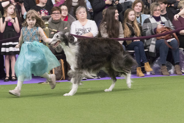 Raina McCloskey, from Delta, Pa., shows Briar, a borzoi, during the 141st Westminster Kennel Club Dog Show, Monday, February 13, 2017, in New York. (Photo by Mary Altaffer/AP Photo)