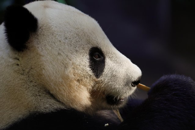 Giant male panda Xiao Liwu looks out from his home at the San Diego Zoo prior to being repatriated to China with his mother Bai Yun, bringing an end to a 23-year-long panda research program in San Diego, California, U.S., April 18, 2019. (Photo by Mike Blake/Reuters)