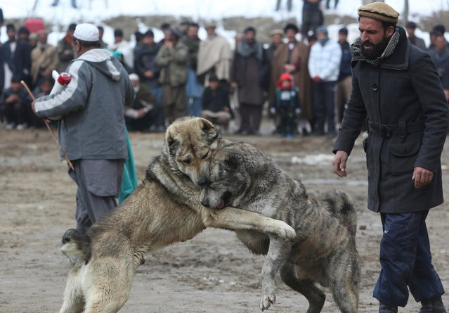 Men watch a weekly dogfighting event in Paghman district of Kabul, Afghanistan, Friday, February 17, 2017. (Photo by Rahmat Gul/AP Photo)