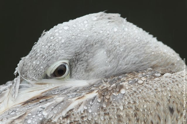 A Dalmatian pelican nestles its head in its feathers as falling rain leaves water droplets on its feathers at the Berlin Zoo