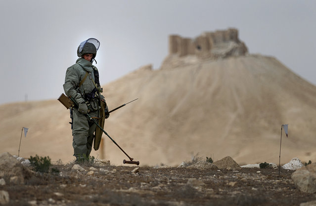 In this photo taken Friday, April 8, 2016 and  provided by Russian Defense Ministry press service, a Russian serviceman checks for mines in Palmyra, Syria. Russian combat engineers arrived in Syria on a mission to clear mines in the ancient town of Palmyra, which has been recaptured from Islamic State militants in an offensive that has proven Russia's military might in Syria despite a drawdown of its warplanes. (Photo by Russian Defense Ministry Press Service Photo via AP Photo)