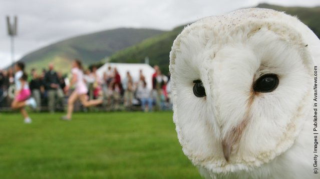 An owl is seen after the falconry display at the Grassmere Lakeland Sports & Show