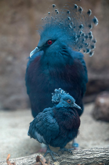 A young Victoria crowned pigeon (Goura victoria) with its mother at their enclosure in Wroclaw's Zoo in Wroclaw, Poland, 25 May 2015. The Victoria crowned pigeon is part of a genus of three unique very large, ground-dwelling pigeons native to the New Guinea region. Its name commemorates the British monarch Queen Victoria. (Photo by Maciej Kulczynski/EPA)