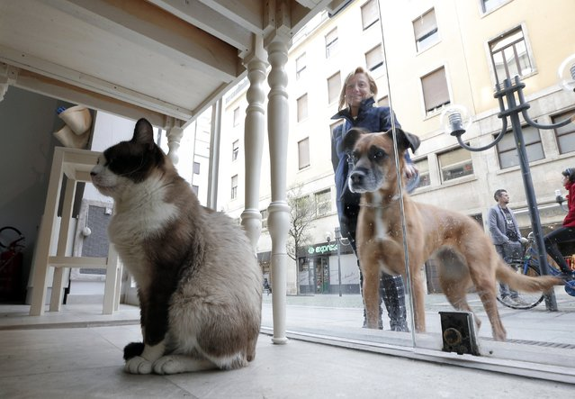 A dog looks at a cat sitting inside the Miagola Cafe in Turin, on March 22, 2014. The newly opened Miagola Cafe is a concept bar where cats and human beings can have a drink and relax. The first cat cafe was opened in Taiwan in 1998, followed by others in various European cities such as Budapest, Berlin, Munich, Paris or Madrid. (Photo by Marco Bertorello/AFP Photo)